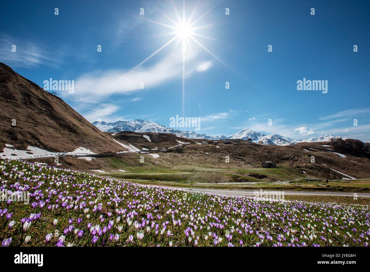 Crocus blooming in the fields in Andossi, Valchiavenna, Italy - Stock Image