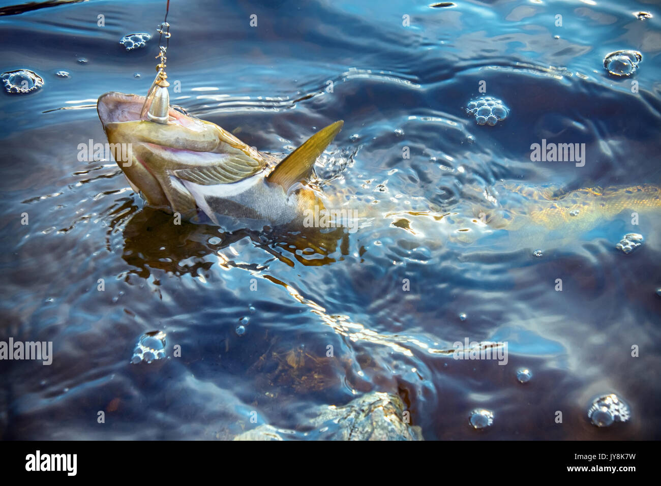 Spinning fishing (lure fishing) trout in lakes of Scandinavia. Brook trout (steelhead rainbow trout, char, bull-trout, cutthroat, lax, Salmo trutta tr - Stock Image