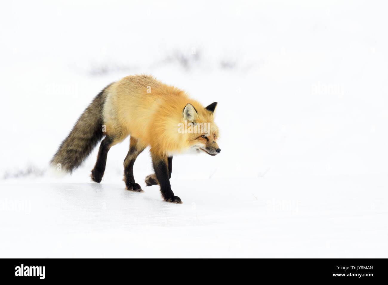 Red Fox (Vulpes vulpes) adult, walking in snow, Churchill, Manitoba, Canada Stock Photo