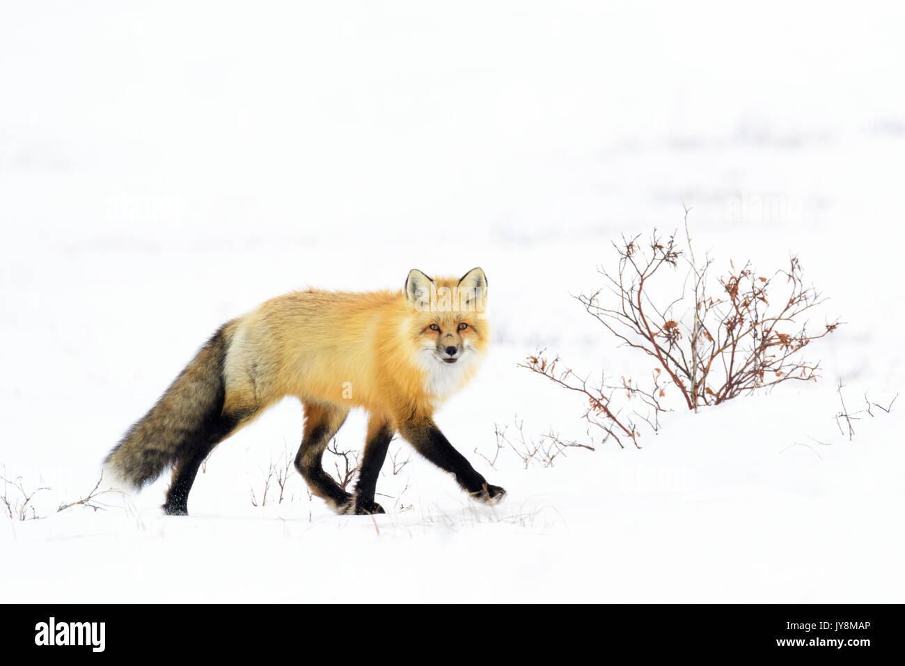 Red Fox (Vulpes vulpes) adult, walking in snow looking at camera, Churchill, Manitoba, Canada - Stock Image
