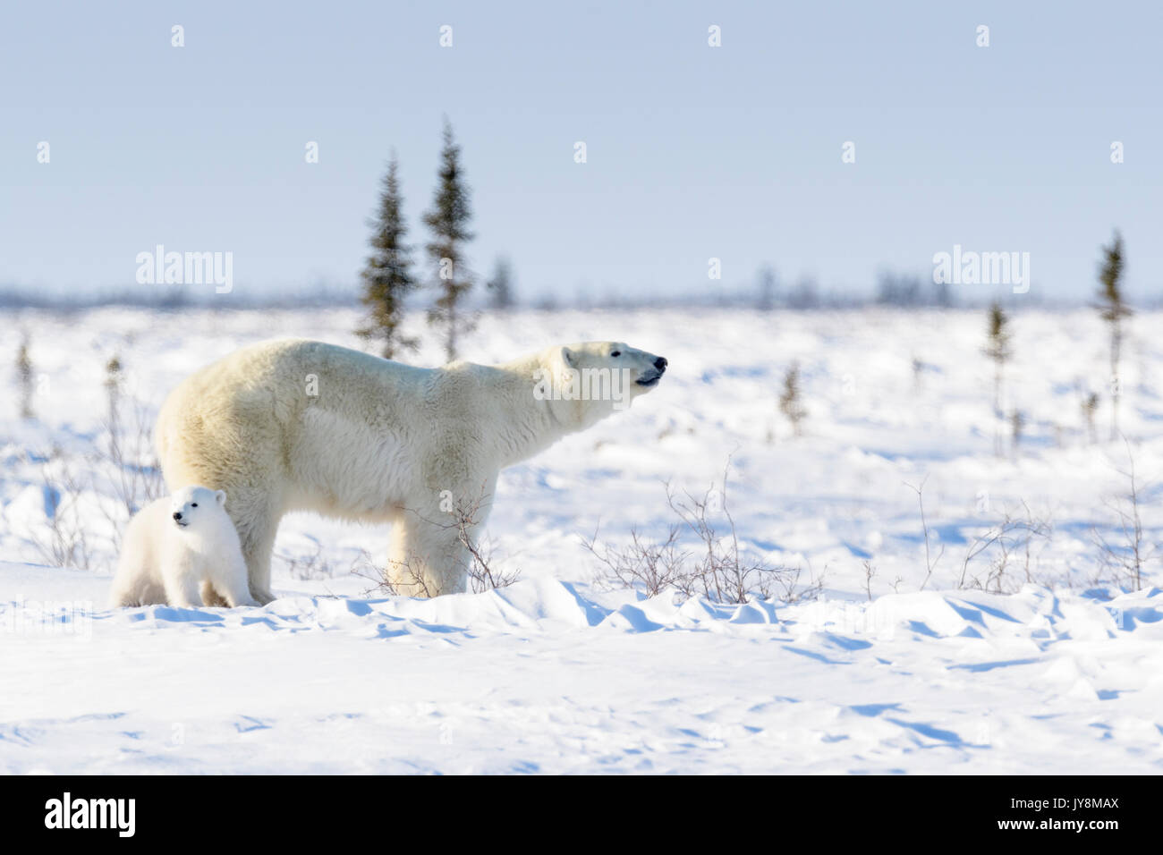 Polar bear mother (Ursus maritimus) with new born cub standing on tundra, Wapusk National Park, Manitoba, Canada - Stock Image