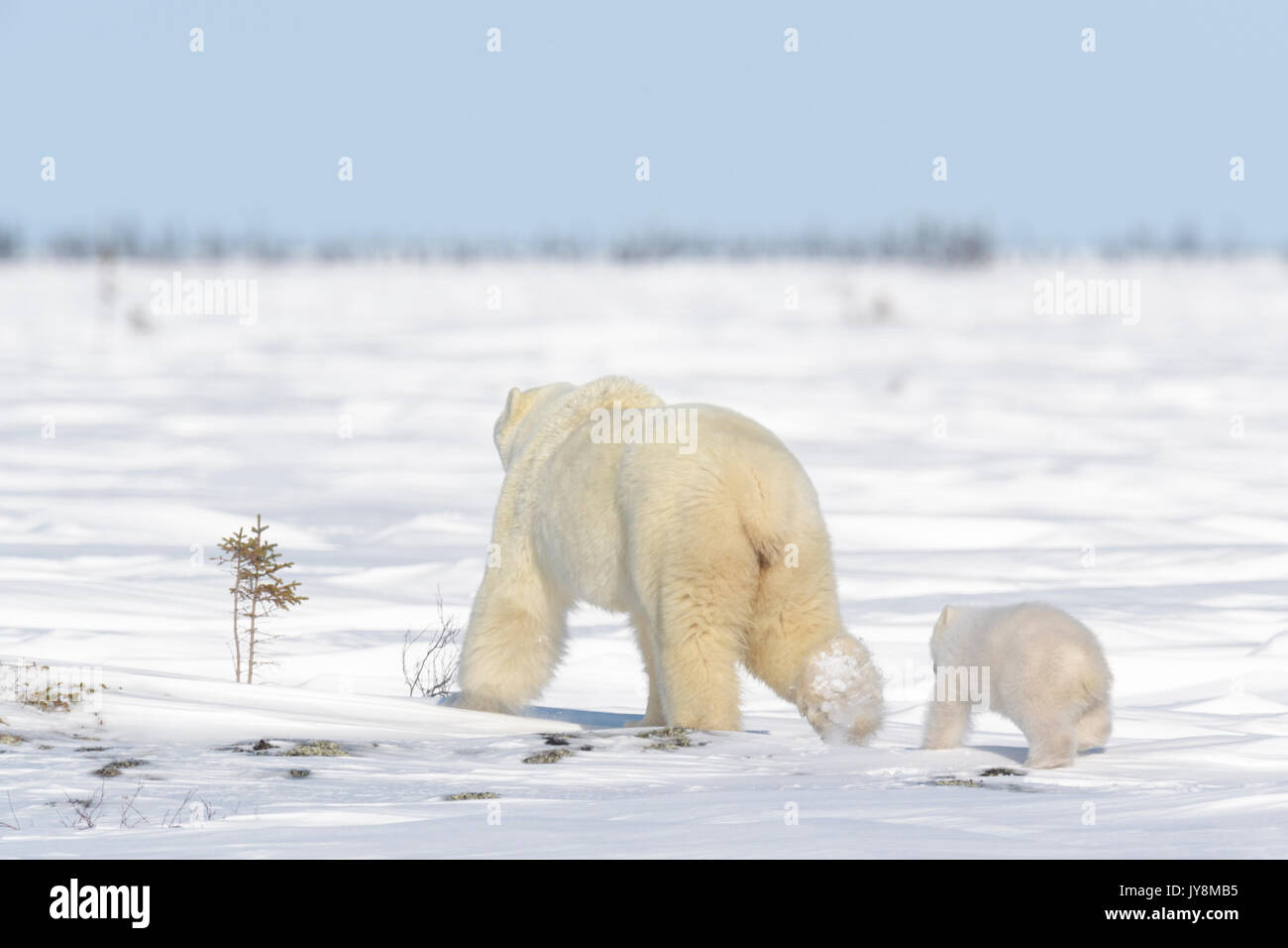 Polar bear mother (Ursus maritimus) with new born cub walking on tundra, Wapusk National Park, Manitoba, Canada - Stock Image