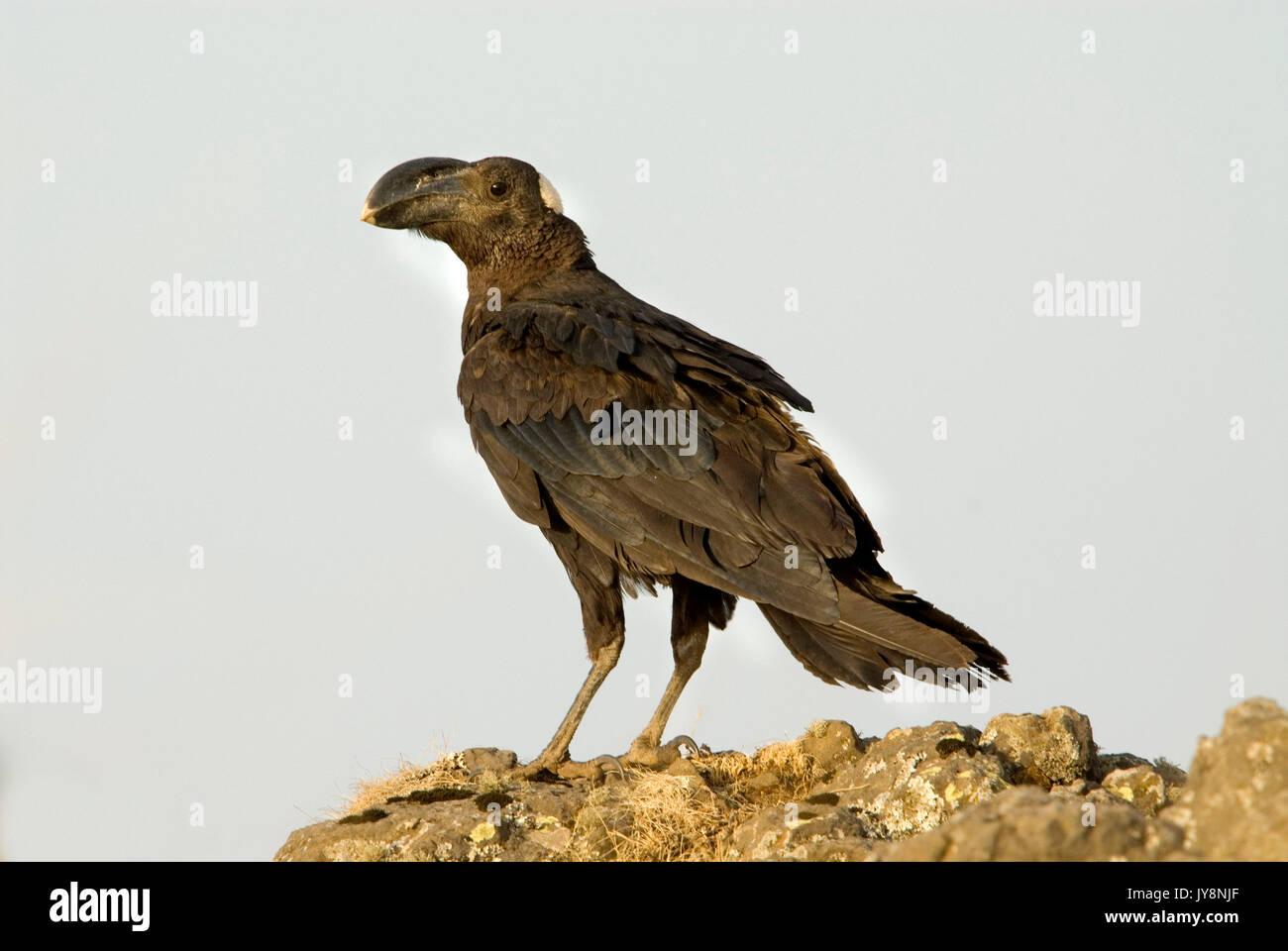 Thick Billed Raven, Corvus crassirostris, Simien Mountains National Park, Ethiopia, blue sky background, cut out - Stock Image