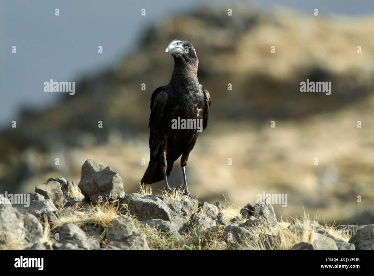 Thick Billed Raven, Corvus crassirostris, Simien Mountains National Park, Ethiopia, - Stock Image