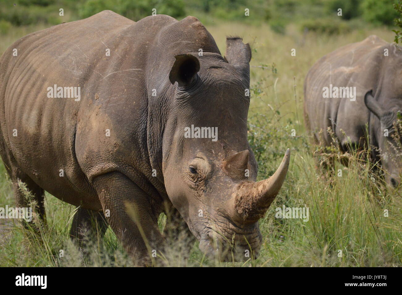 White Rhino - Stock Image