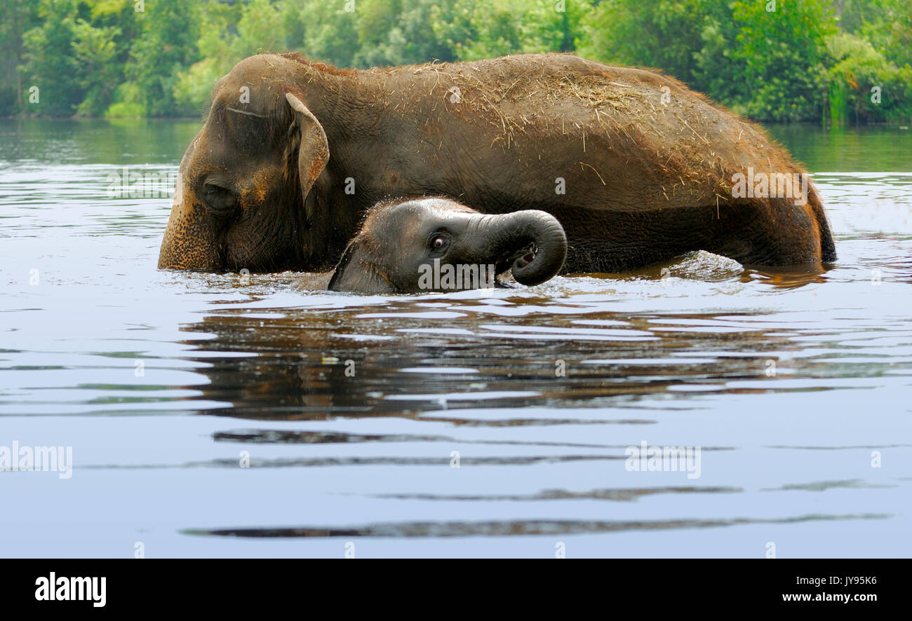 An Elephant mother and her baby bathing body of water - Stock Image