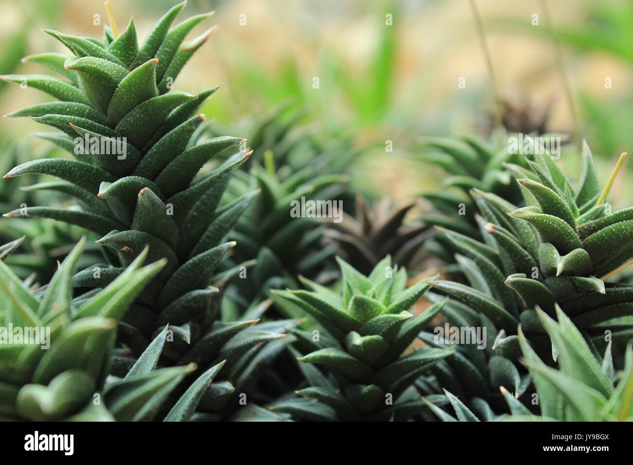 Some succulents illuminated by the sun - Stock Image