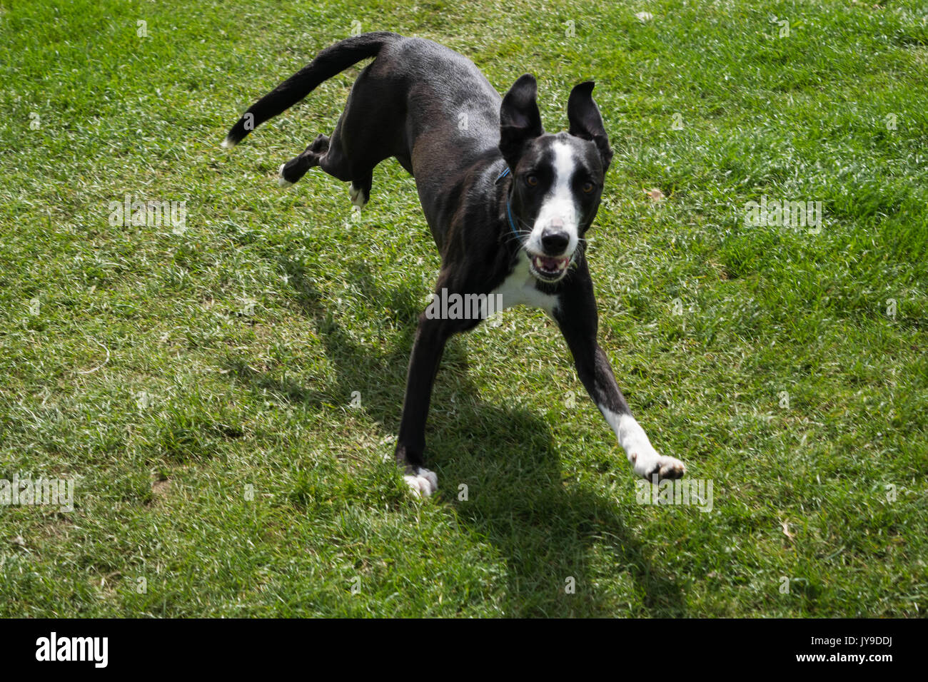 A male black and white dog running on green grass with his ears up - Stock Image