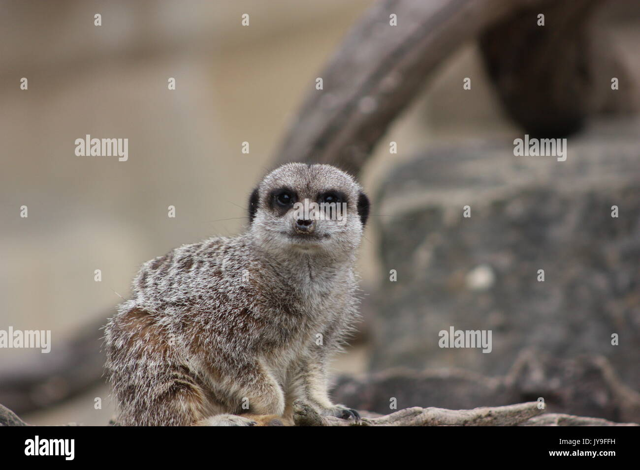 Compare the meercat! - Stock Image
