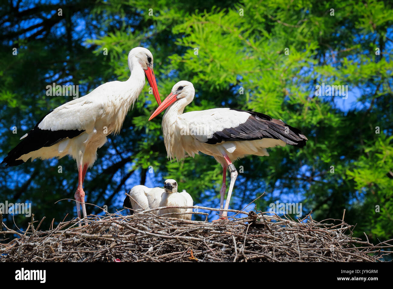 Adult  white storks (Ciconia ciconia) with chick on nest, Basel, Switzerland. - Stock Image