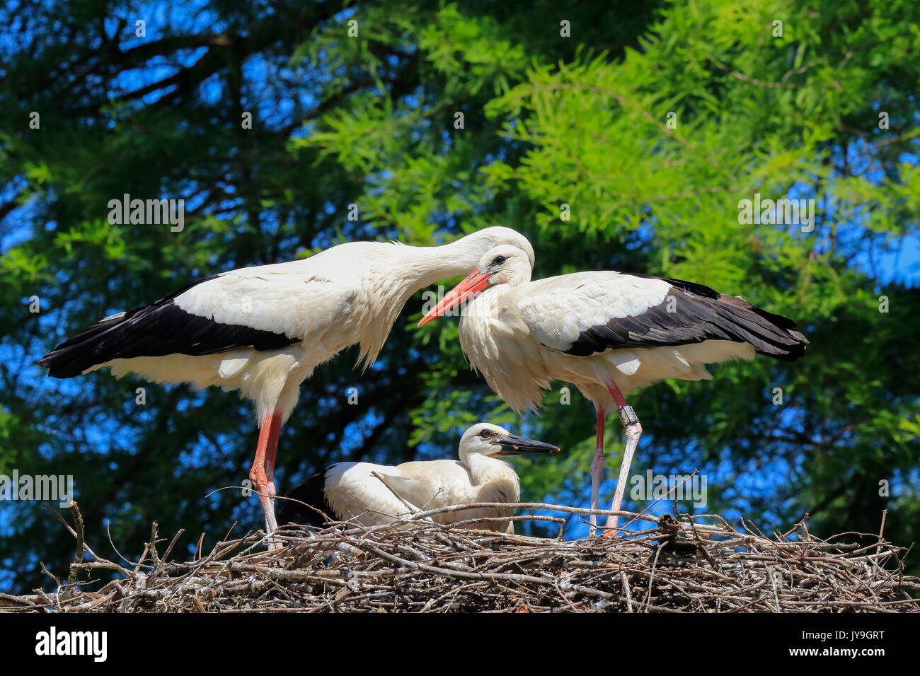 Adult  white storks (Ciconia ciconia) with chick on nest, Basel, Switzerland. Stock Photo