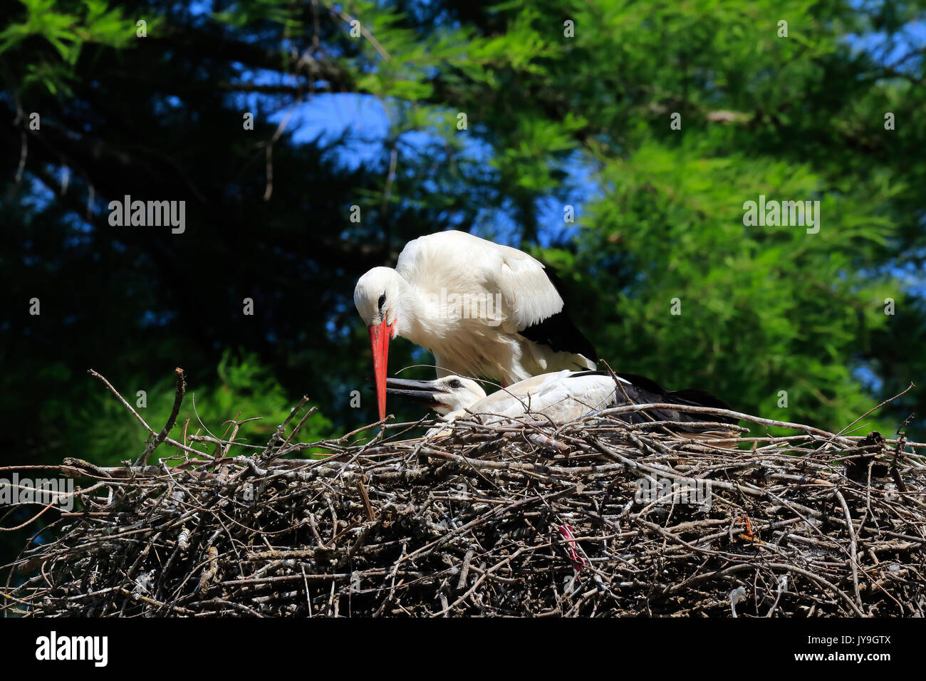 Adult  white stork (Ciconia ciconia) with chick on nest, Basel, Switzerland. Stock Photo