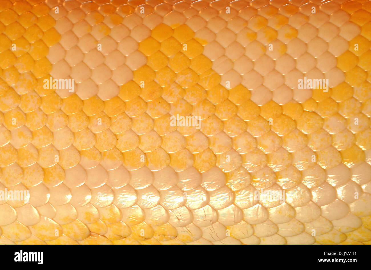 Snake skin, with its highly periodic cross-hatch or grid patterns - Stock Image