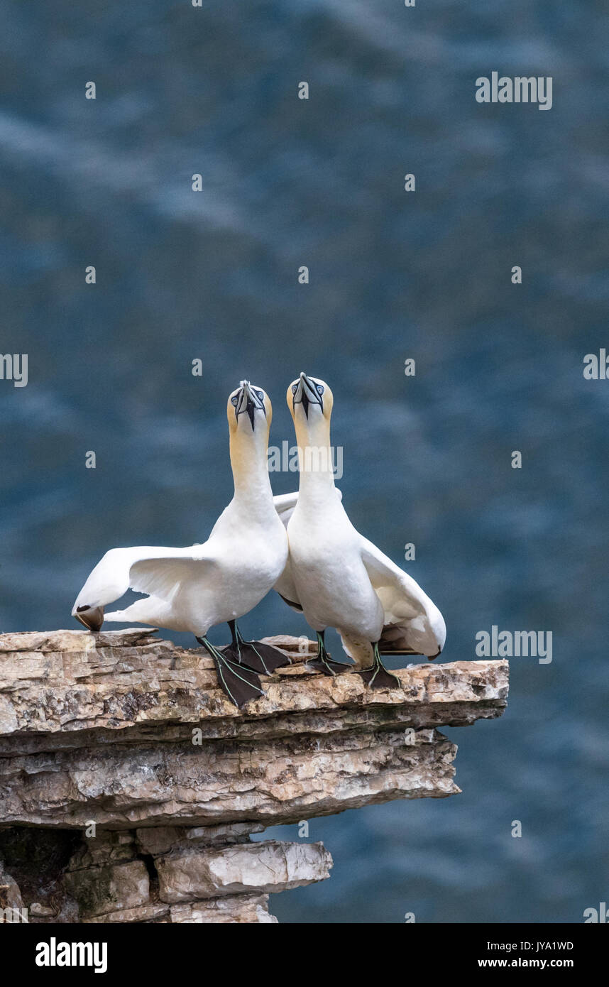 Male and female Gannets bonding together on the narrow cliff edge. - Stock Image