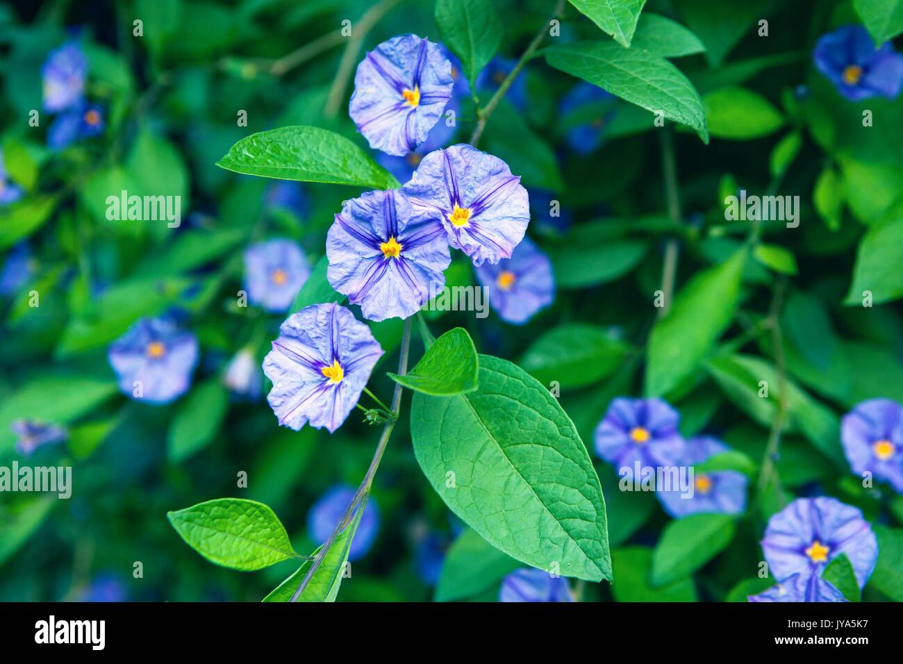 Beautiful Ground morning glory in the garden in the cool colors closeup - Stock Image