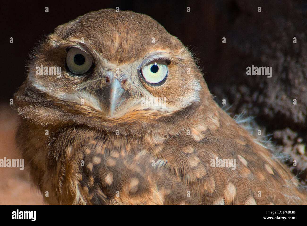 Burrowing Owl Youngster - Stock Image