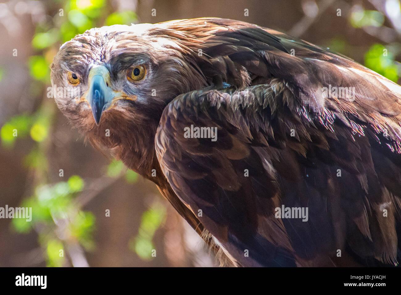 Eagle's Stare - Stock Image