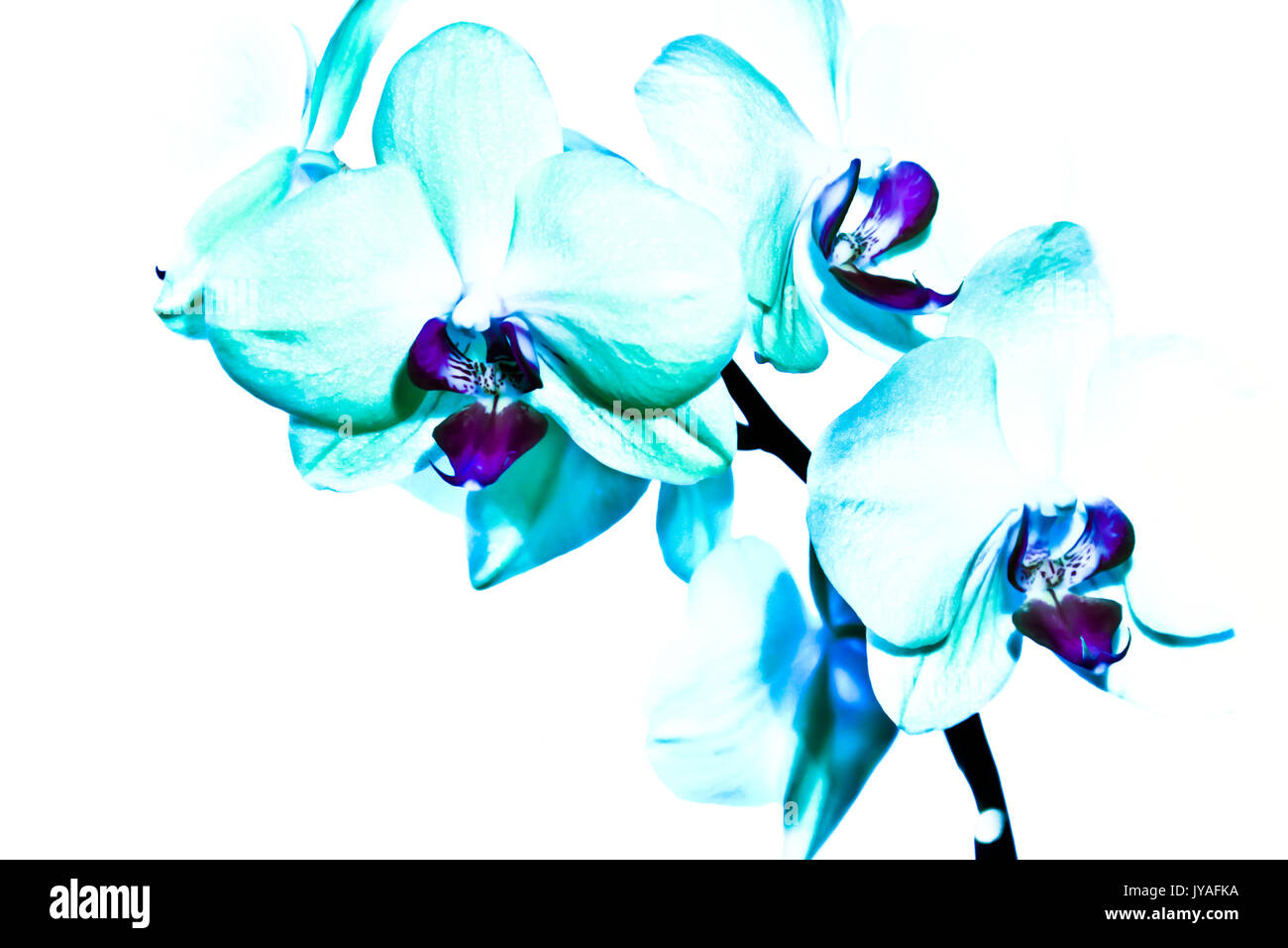 A spray of three pale aqua orchids are featured with bright purple hearts. - Stock Image