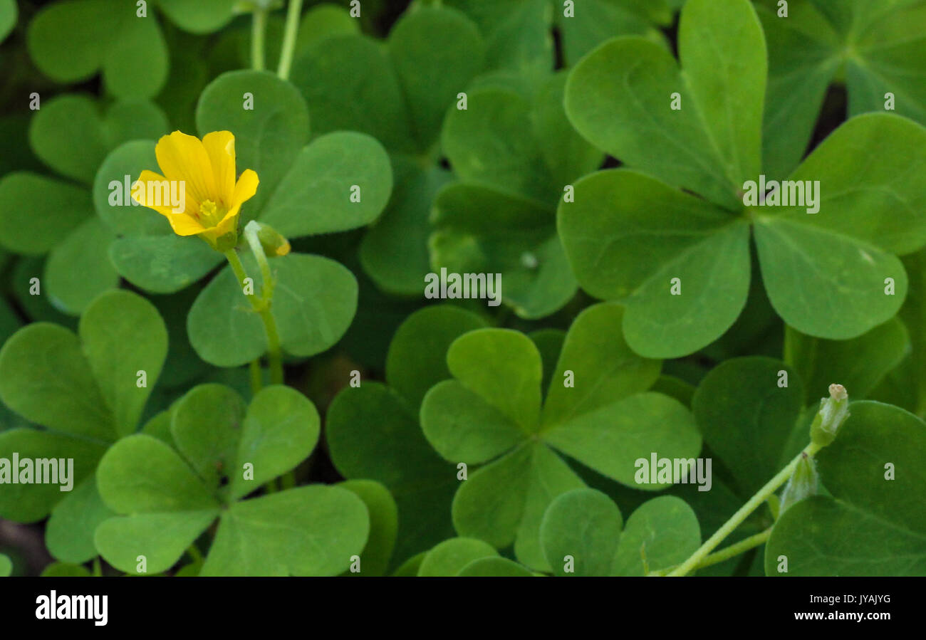 Clover patch with yellow flower close up stock photo 154513060 alamy clover patch with yellow flower close up mightylinksfo