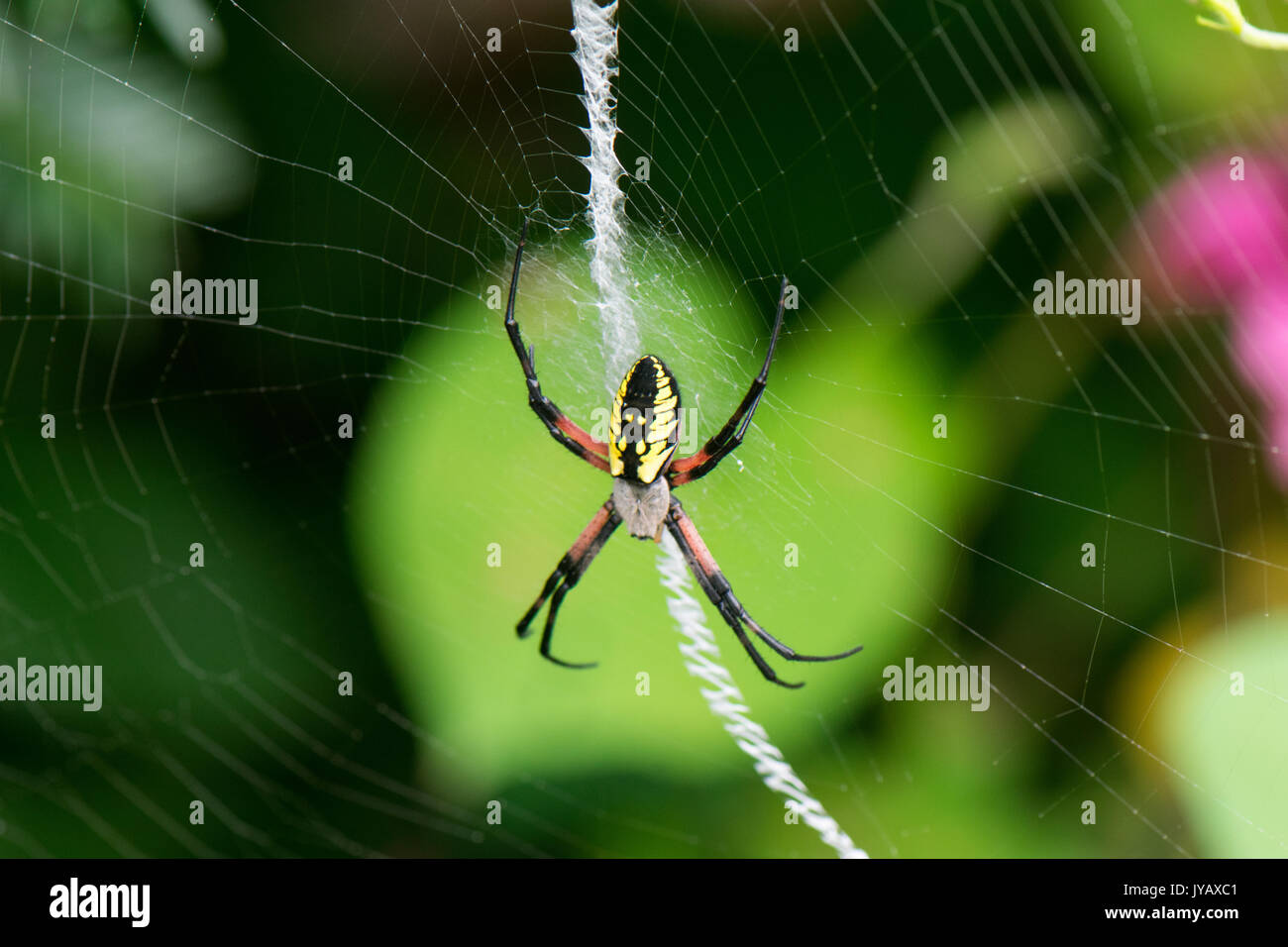 yellow garden spider hangs on web in front of brilliant green leaf Stock Photo