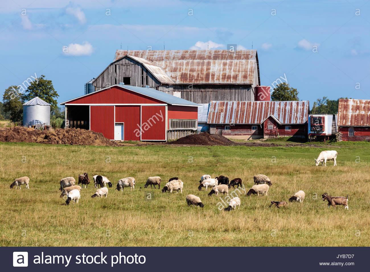 livestock barn sheep goats agriculture farm farming Ontario Canada summer Stock Photo