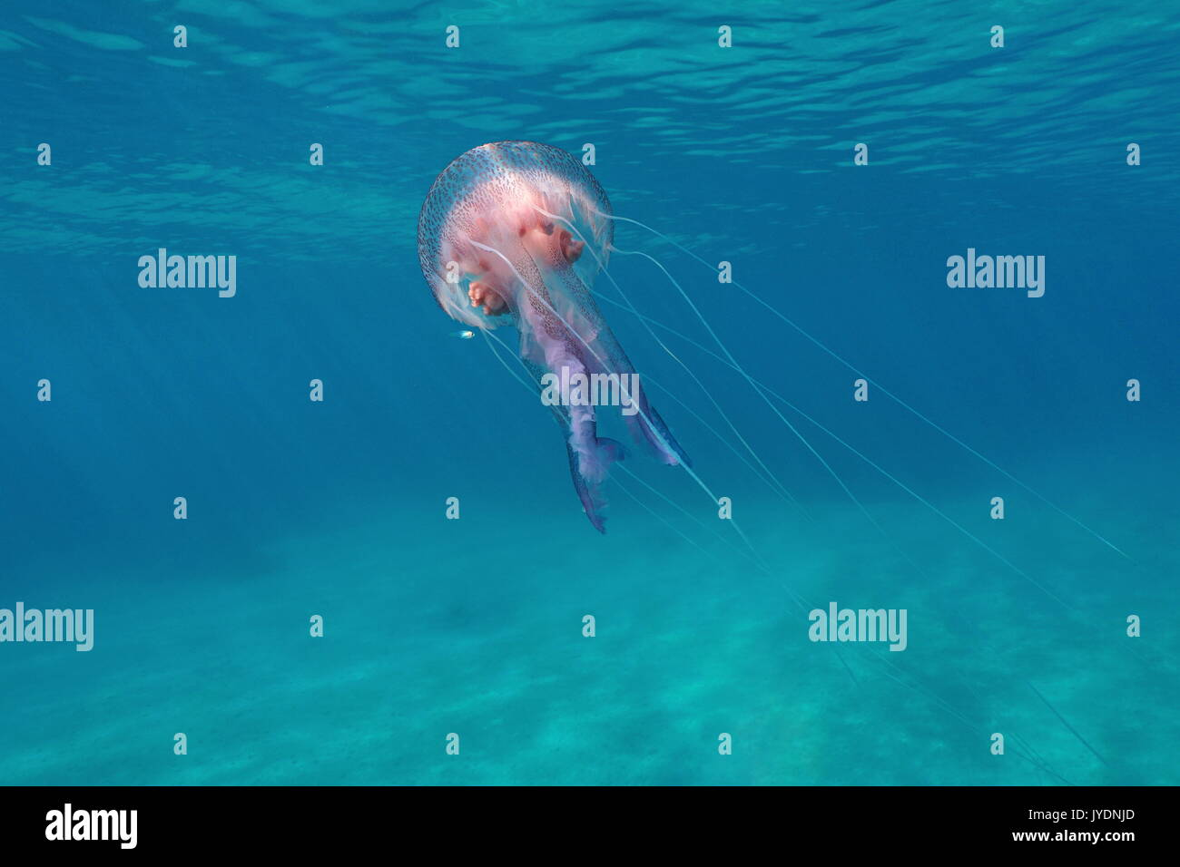 A mauve stinger jellyfish Pelagia noctiluca underwater close to water surface in the Mediterranean sea, Calabira,Tropea, Italy - Stock Image