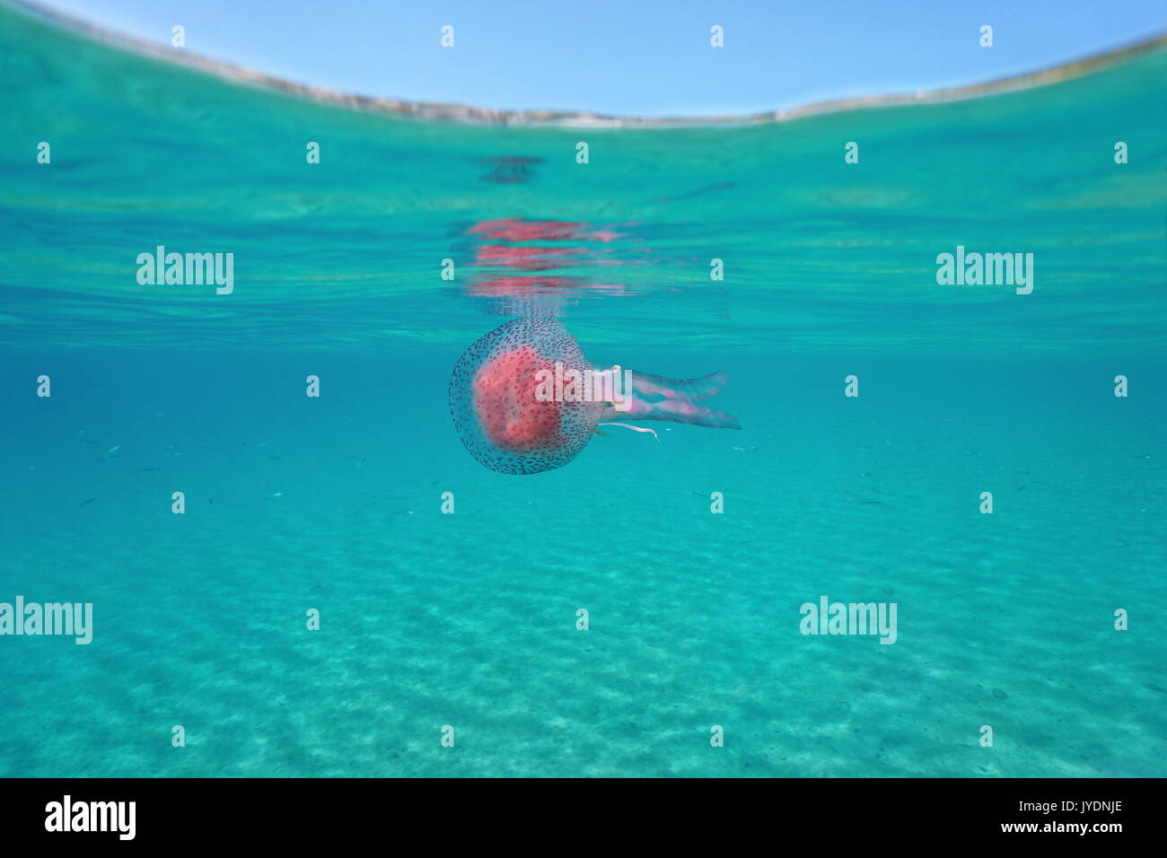 A mauve stinger jellyfish Pelagia noctiluca underwater below the water surface, Mediterranean sea, Spain, Costa Brava, Girona, Catalonia - Stock Image