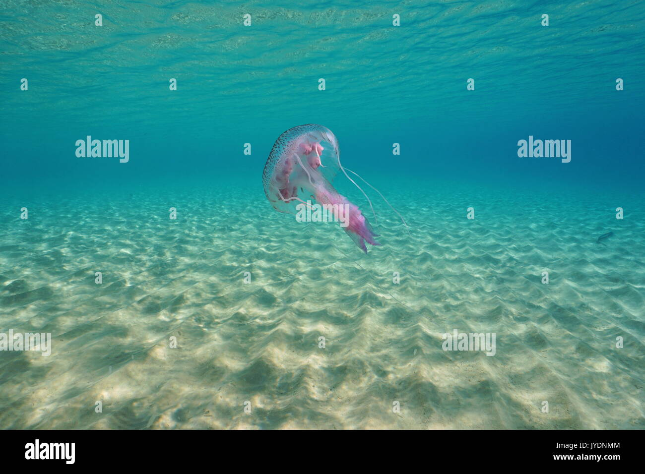 Underwater jellyfish mauve stinger Pelagia noctiluca between a sandy seabed and water surface, Mediterranean sea, Spain, Costa Brava, Catalonia - Stock Image