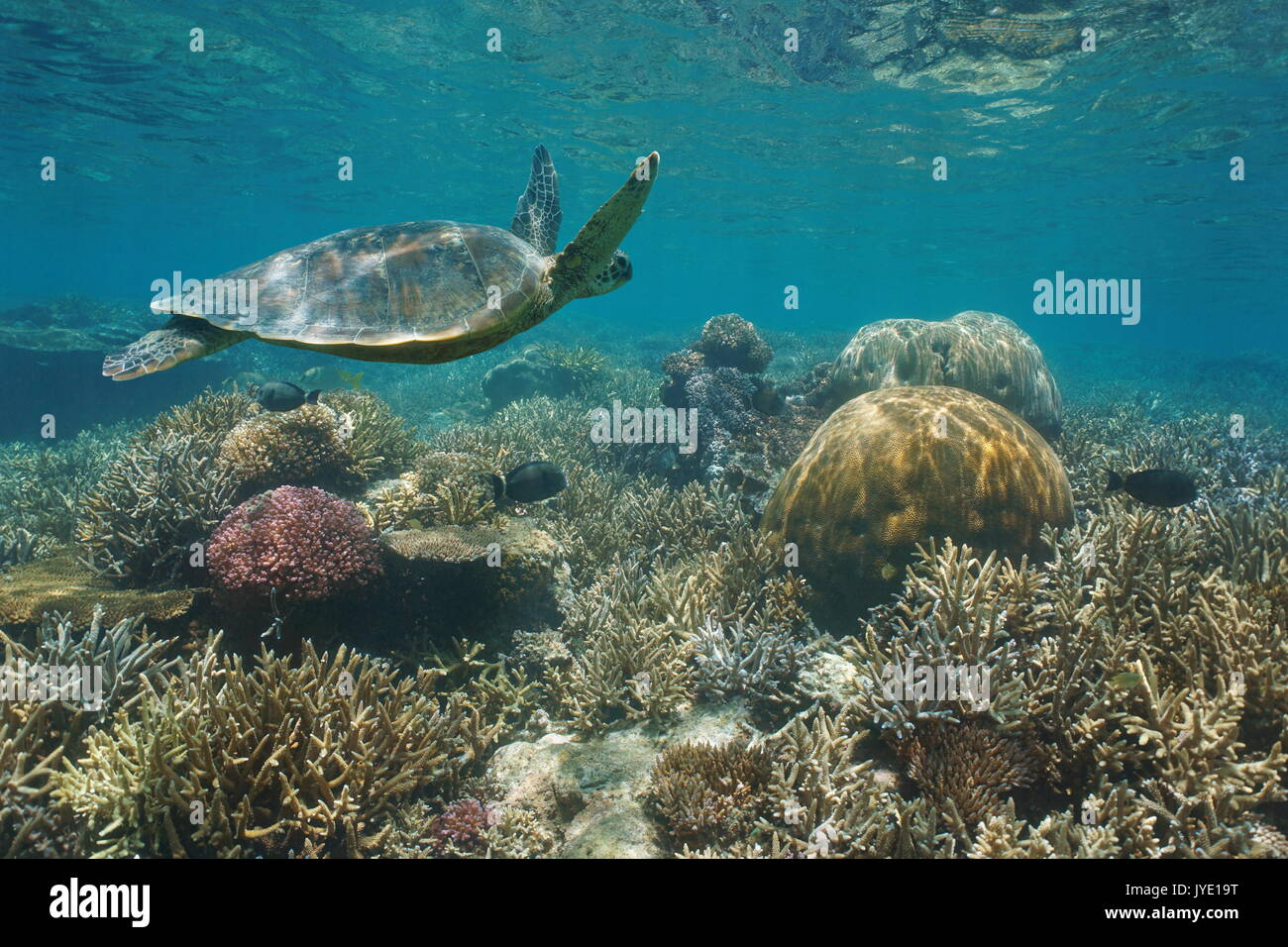 Beautiful coral reef with a green sea turtle underwater, south Pacific ocean, New Caledonia - Stock Image