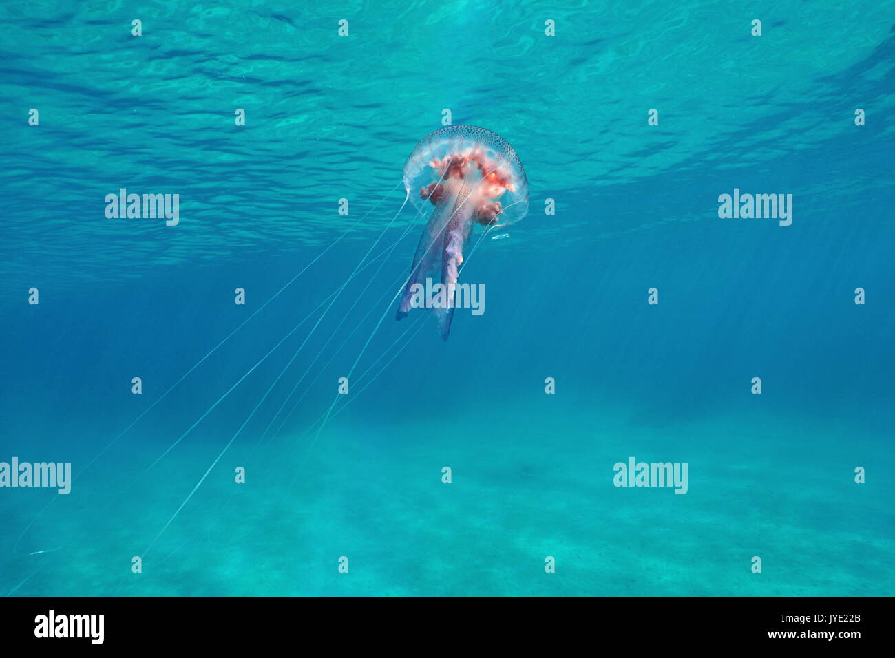 Underwater jellyfish mauve stinger Pelagia noctiluca close to water surface, Mediterranean sea, Italy - Stock Image