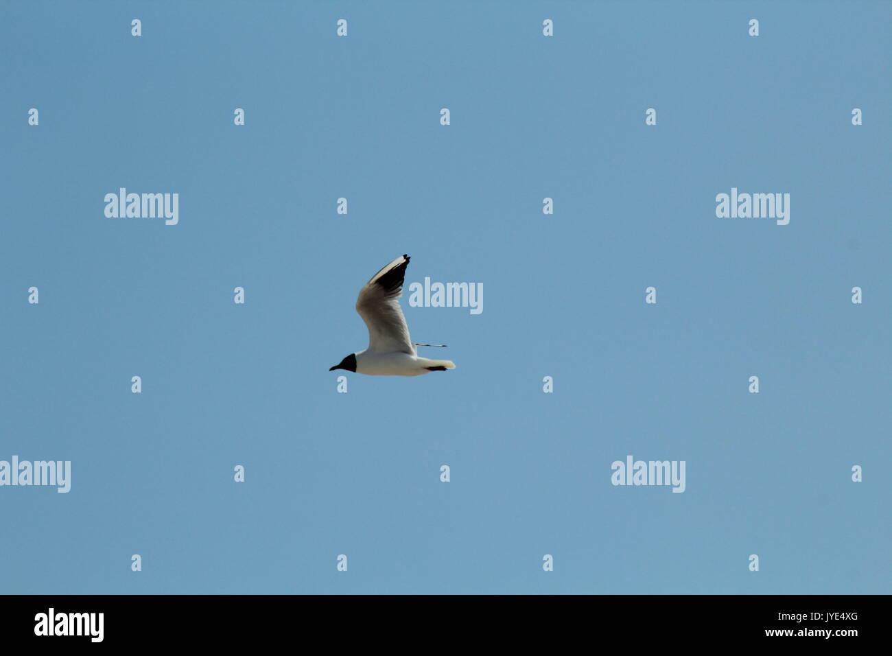 seagull flying through blue sky - Stock Image