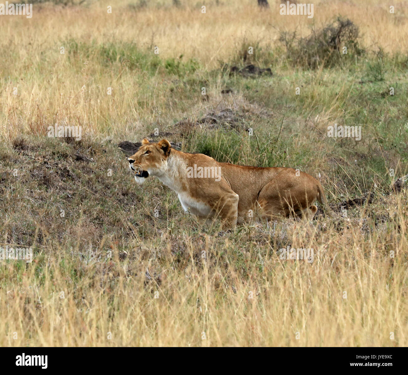 Lioness Hunting Stock Photos & Lioness Hunting Stock ...