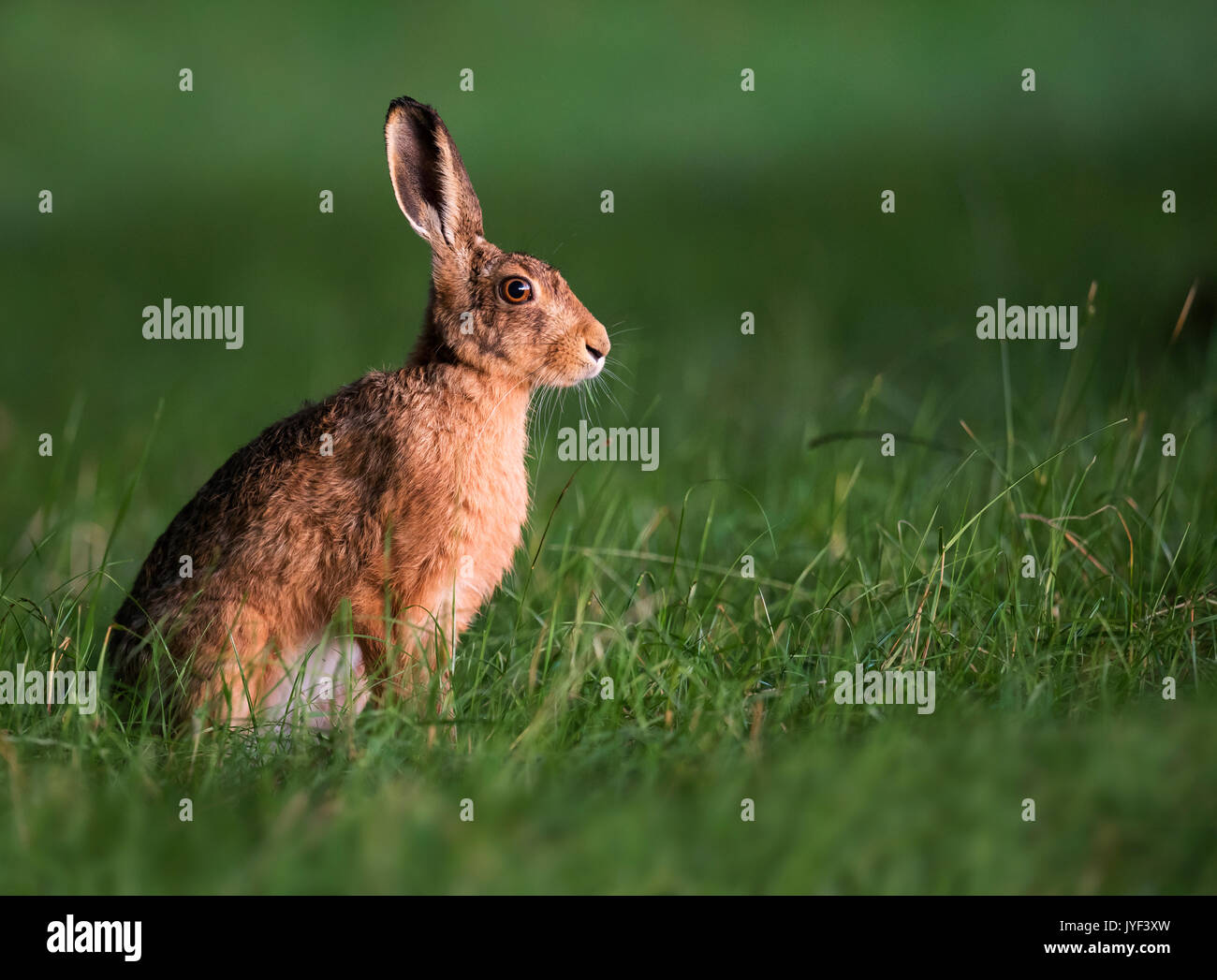 Brown Hare (Lepus europaeus) in early morning light, Warwickshire - Stock Image