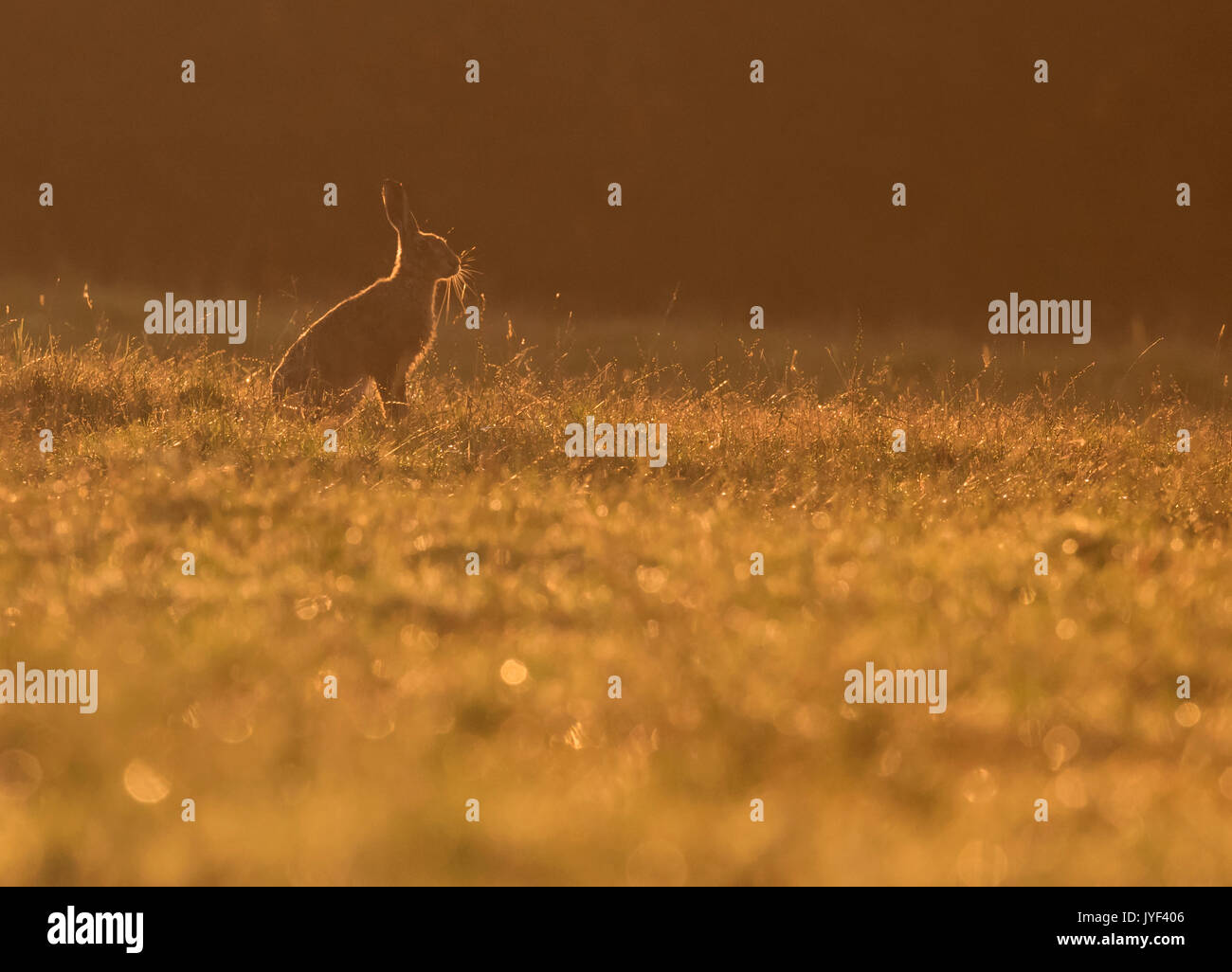 A Brown Hare (Lepus europaeus) sits backlit by rising sun, Warwickshire - Stock Image