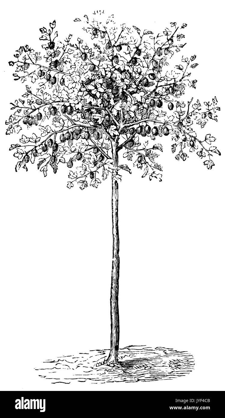 high Cobby gooseberry bush - Stock Image