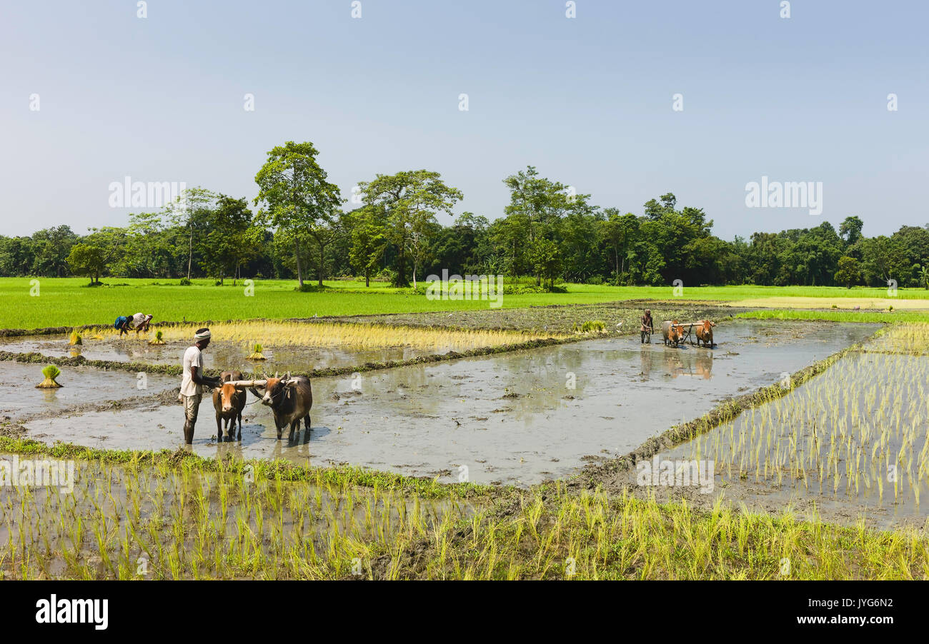 Farmers cultivate rice in waterlogged fields using traditional ploughs and oxen on a bright summer day on August Stock Photo