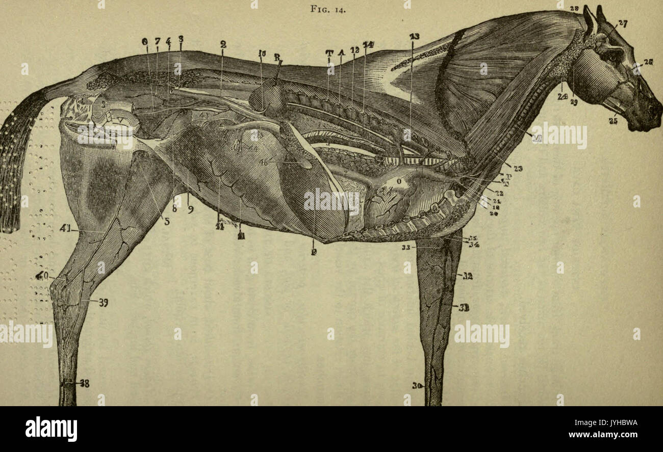 A compend of equine anatomy and physiology (Page 100) BHL22513998 ...