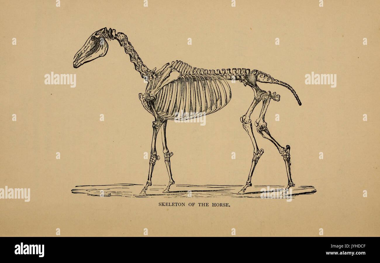 Equine Anatomy Stock Photos & Equine Anatomy Stock Images - Alamy