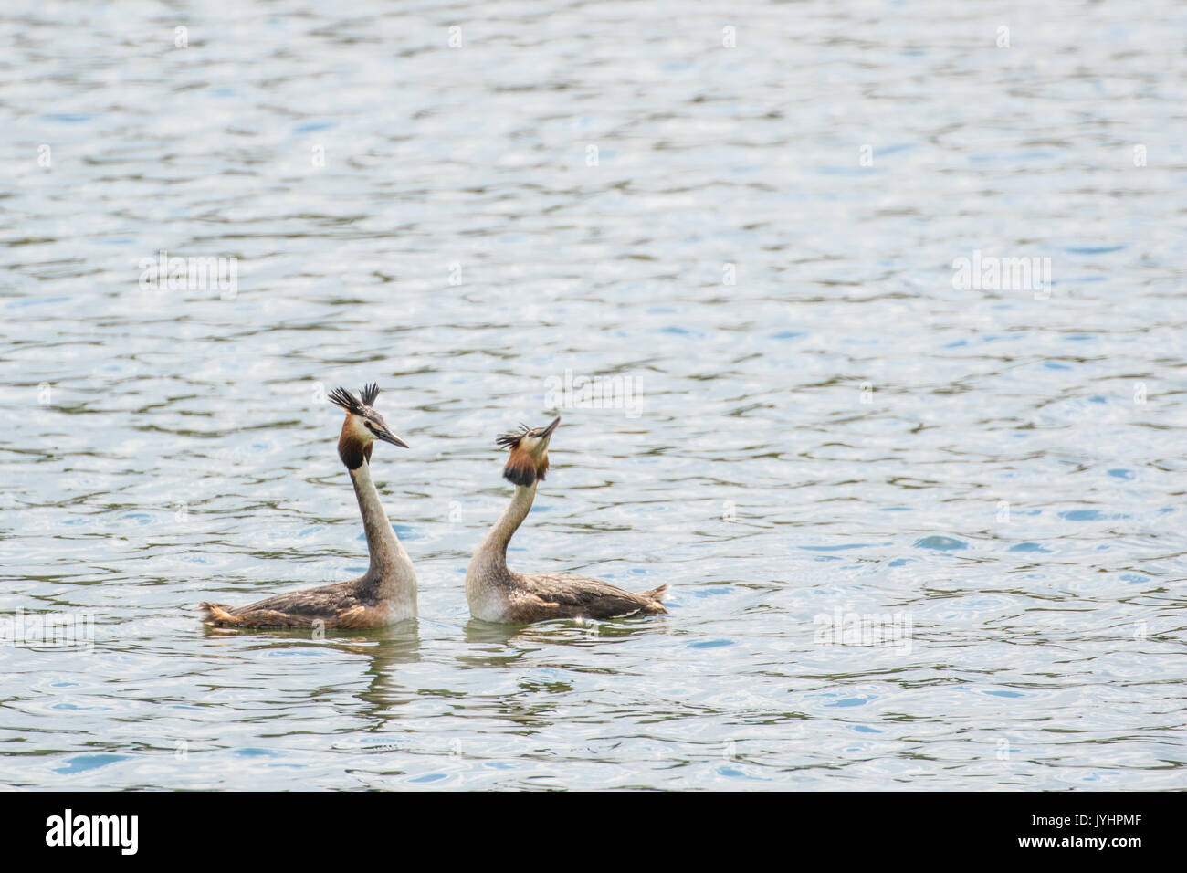 Two Great Crested Grebes Swimming on a Lake. - Stock Image