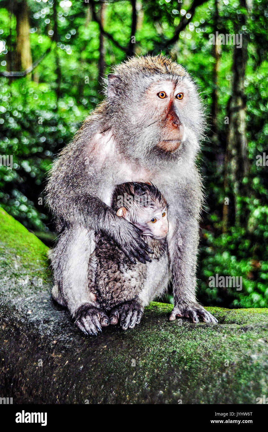 Asia, South-East Asia, Indonesia, Bali. Ubud. Monkey forest. Monkey and her baby. - Stock Image