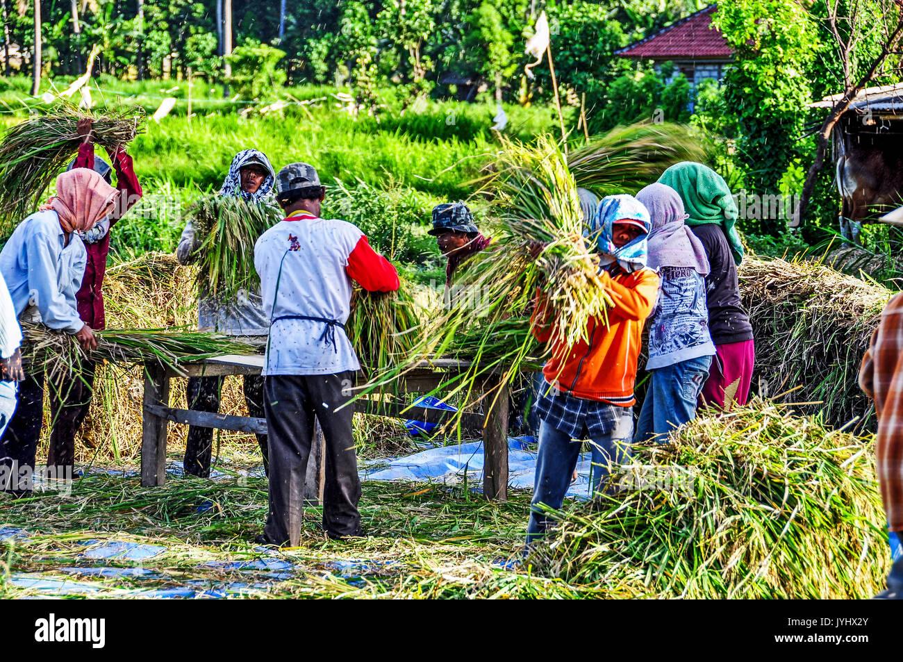 Indonésie. Bali. Région de l est, Amed. Paysans travaillant a la recolte du blé // Indonesia. Bali. Eastern Region, Amed. Peasant group working at har - Stock Image