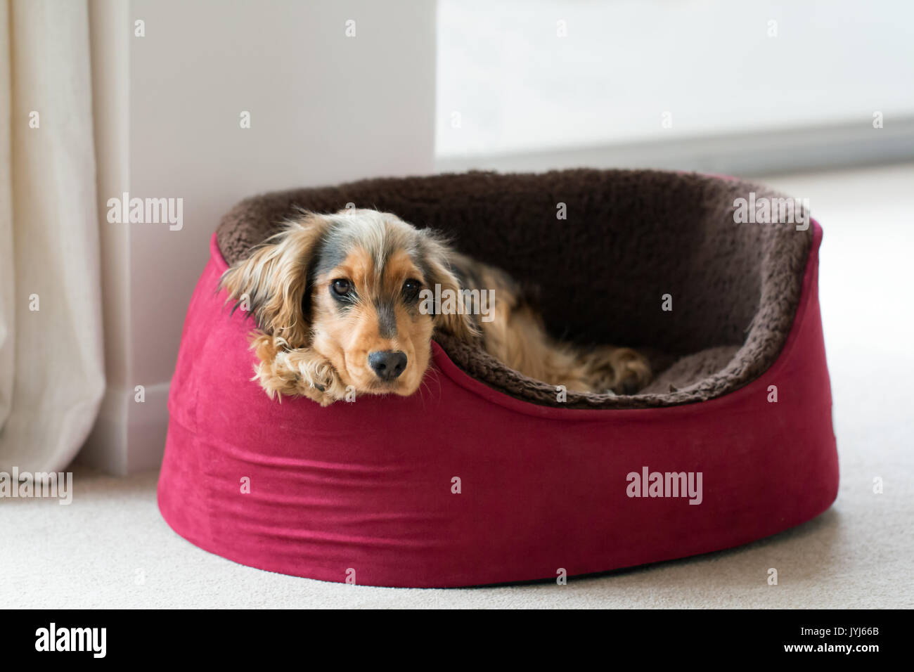 Eight-month-old English Show Cocker Spaniel puppy, lying in dog bed with head and paws over side. Looking straight at camera. - Stock Image