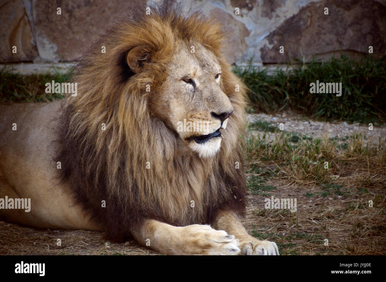 Male Lion resting in the zoo. Wild old lion potrait - Stock Image