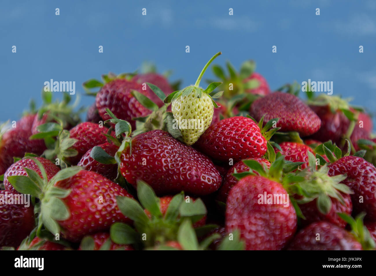 Green Strawberry Sits on Pile of Ripe Berries in front of blue background Stock Photo