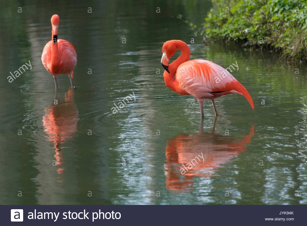 Pink flamingo bird in the 'Mayajigua Lakes' or 'San Jose del Lago'. The place is a natural reserve for eco-tourism operated by Masnatura. - Stock Image