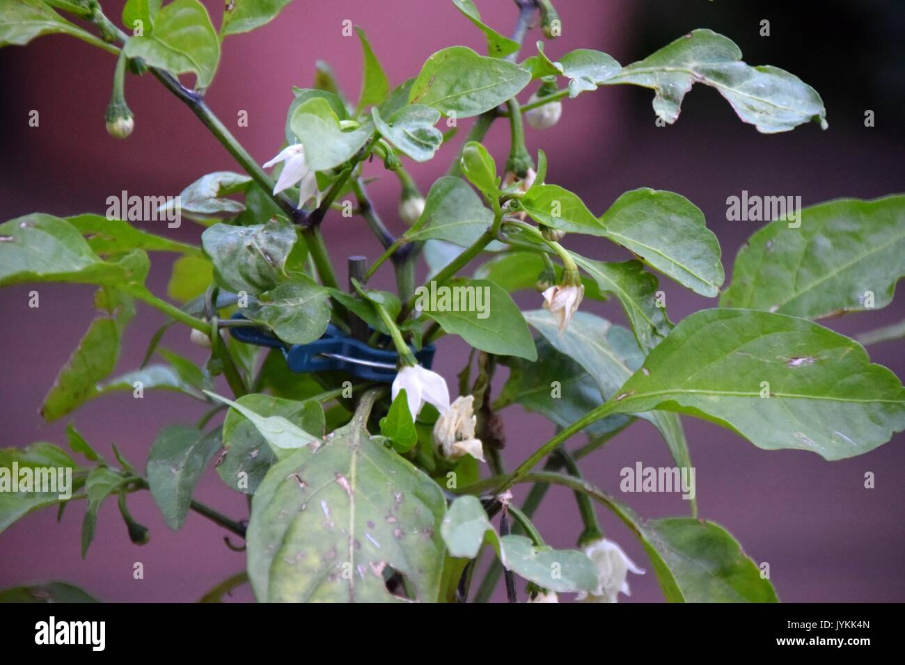 Capsicum, peppers, Capsiceae, Chili peppers, Chilis, red and green bell pepper, bell pepper, capsicum annuum - Stock Image