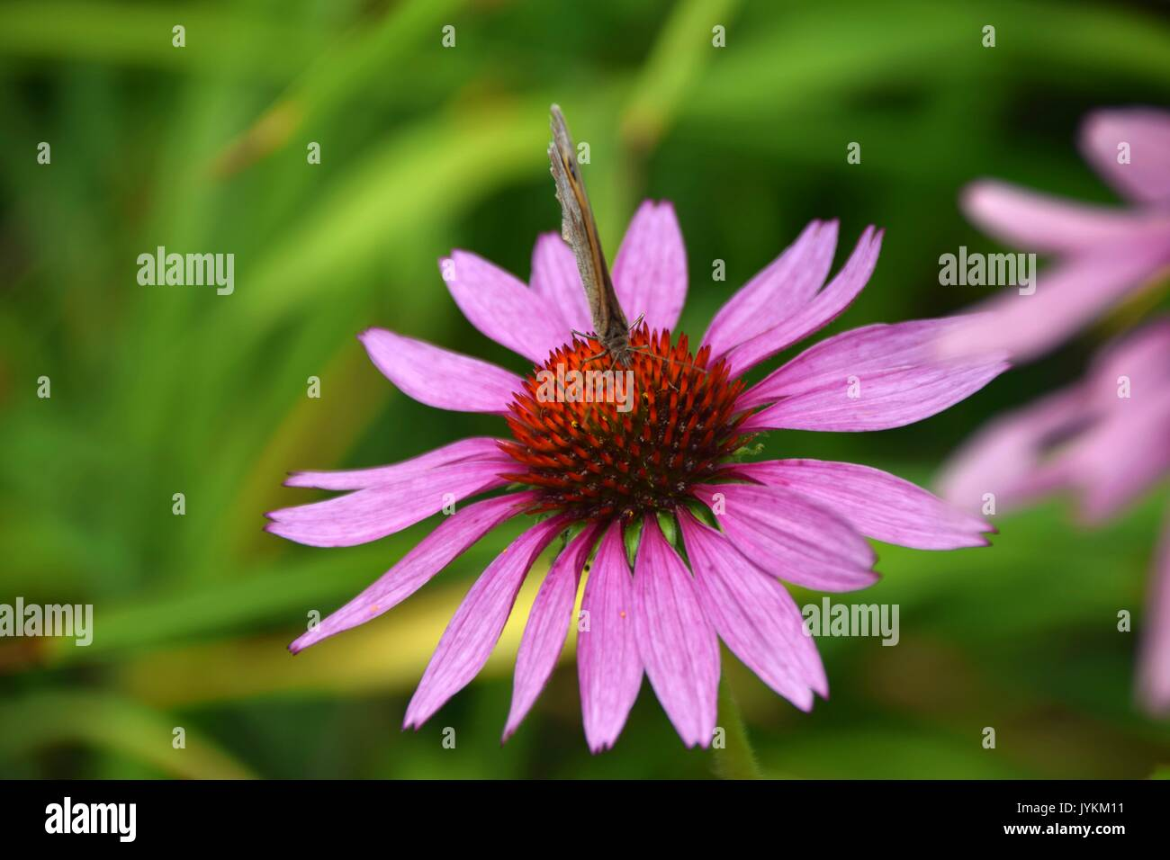 purpurea Echinacea with butterfly Maniola jurtina, meadow brown butterfly - Stock Image