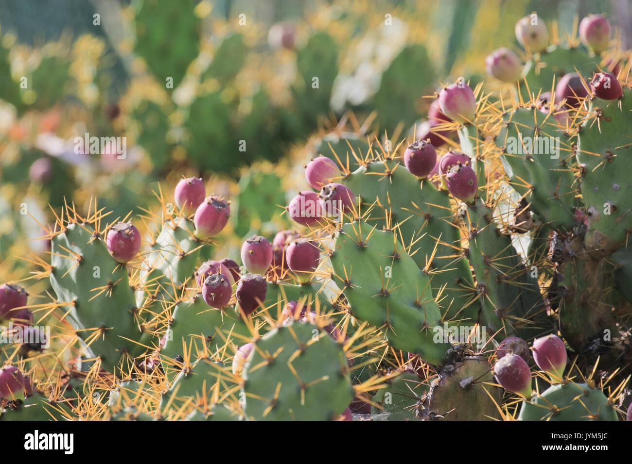 Prickly pear, opuntia, cactus - Stock Image