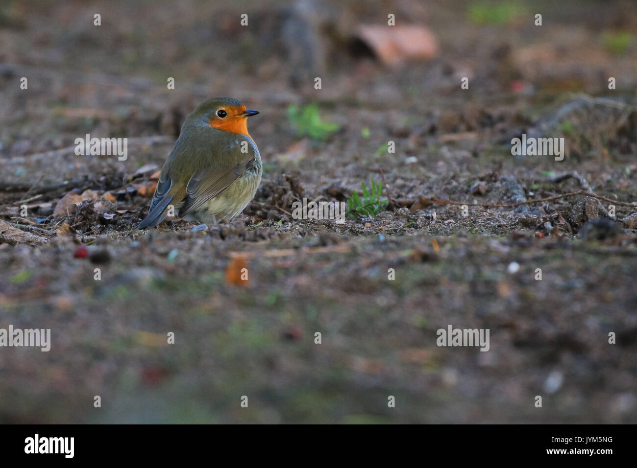European Robin, Erithacus rubecula sitting on ground Stock Photo