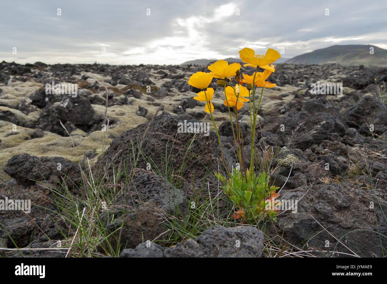 Iceland poppy, Papaver nudicaule on lava field - Stock Image